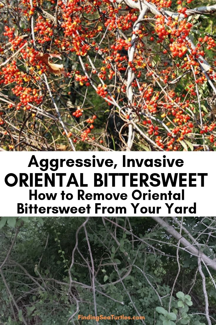 Aggressive Invasive Oriental Bittersweet How To Remove Oriental Bittersweet From Your Yard #OrientalBittersweet #BittersweetVines #Invasive #InvasiveBittersweet