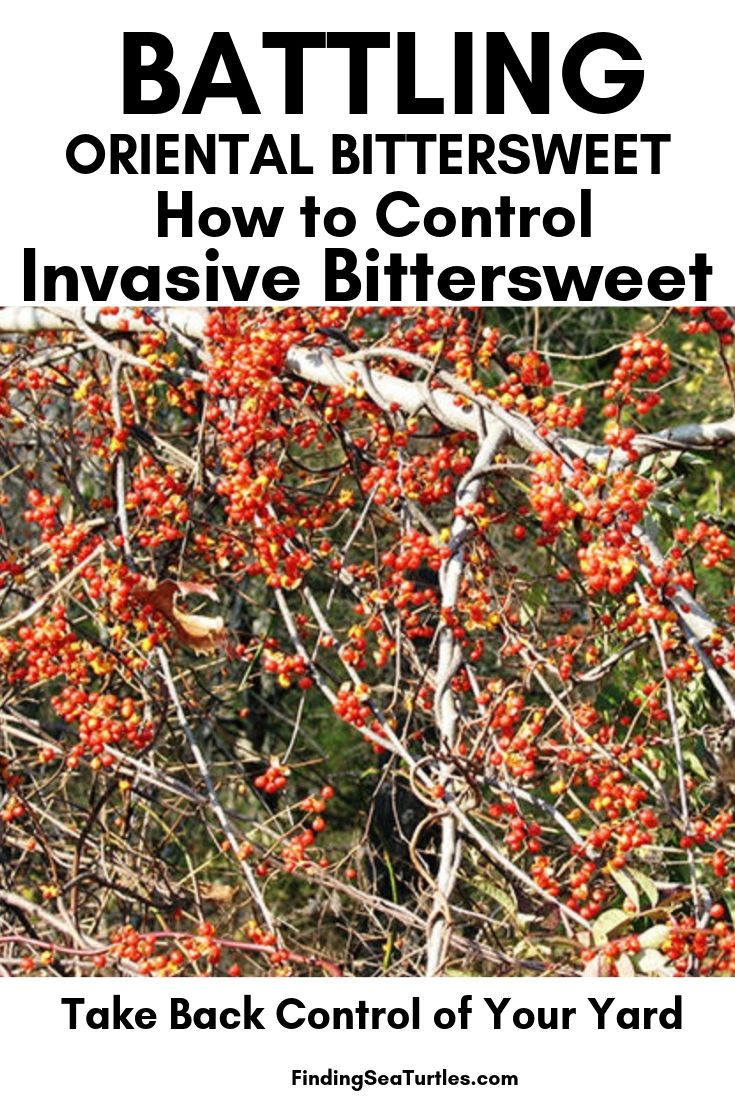 Battling ORIENTAL BITTERSWEET How To Control Invasive Bittersweet #OrientalBittersweet #Invasive #InvasiveBittersweet #InvasiveVines