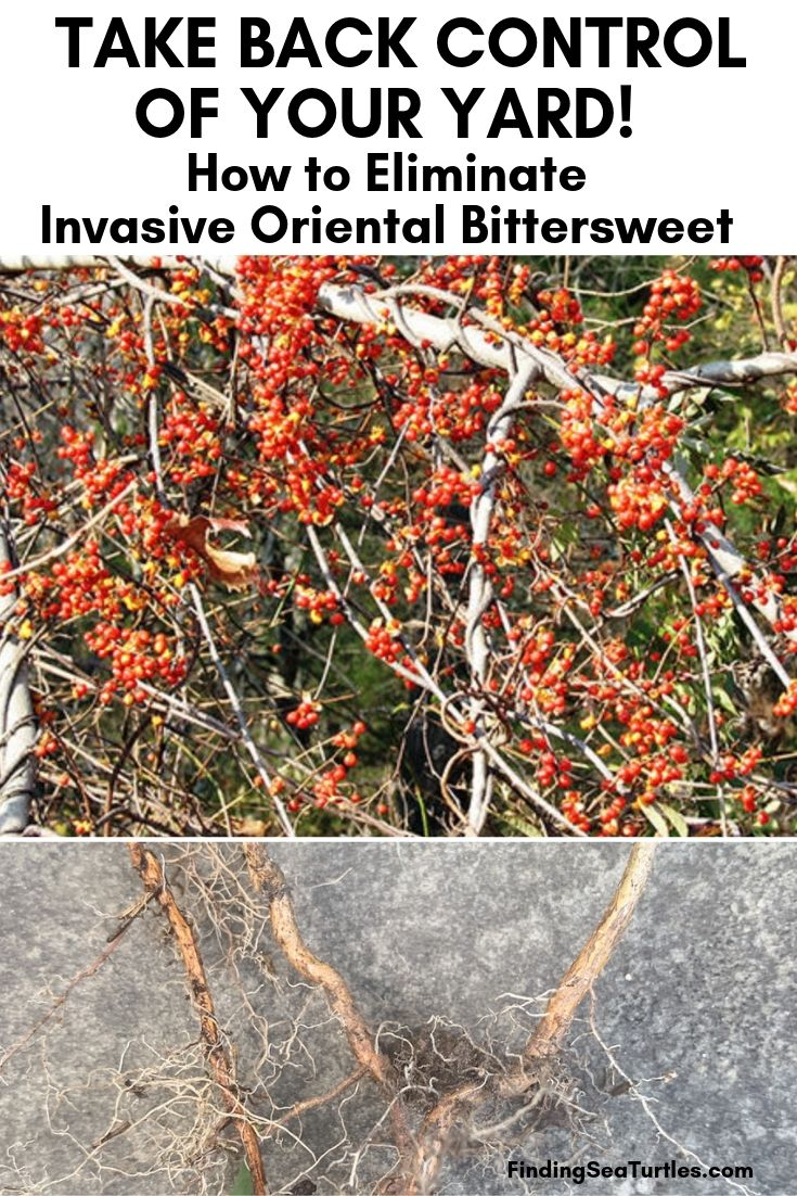 TAKE BACK CONTROL OF YOUR YARD! How To Eliminate Invasive Oriental Bittersweet #OrientalBittersweet #Invasive #InvasiveBittersweet #InvasiveVine