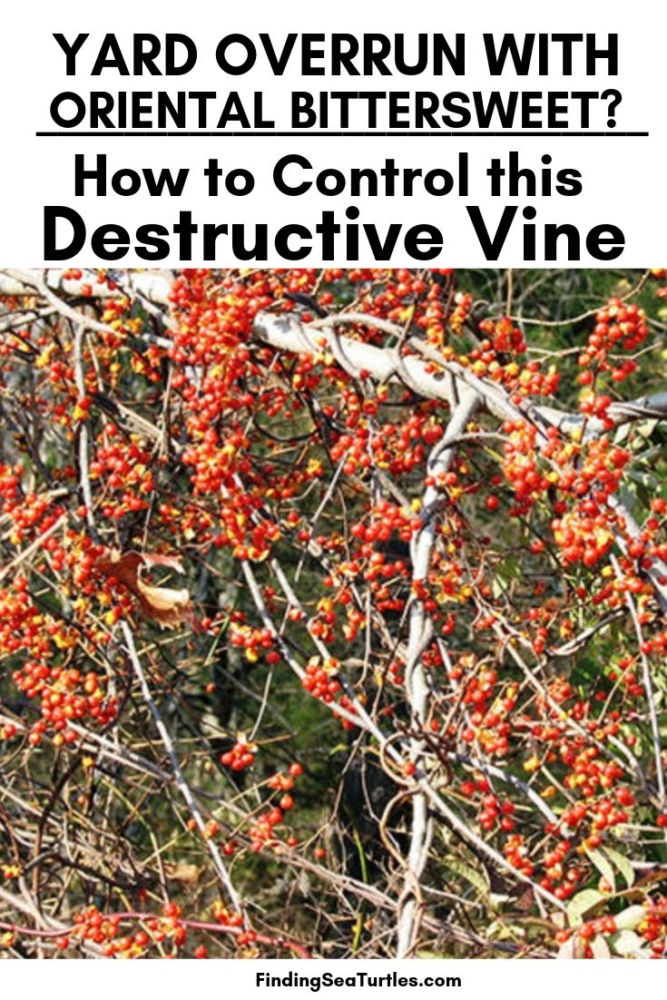 YARD OVERRUN WITH Oriental Bittersweet_ How To Control This Destructive Vine #OrientalBittersweet #Invasive #InvasiveBittersweet #BittersweetVines