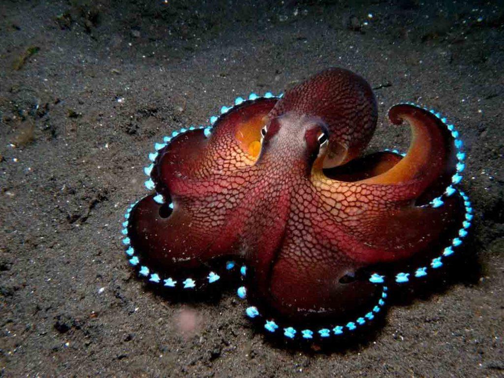 Sealife Spotlight: 20 Octopus Facts - Coconut octopus #octopus #sealife #oceanlife
