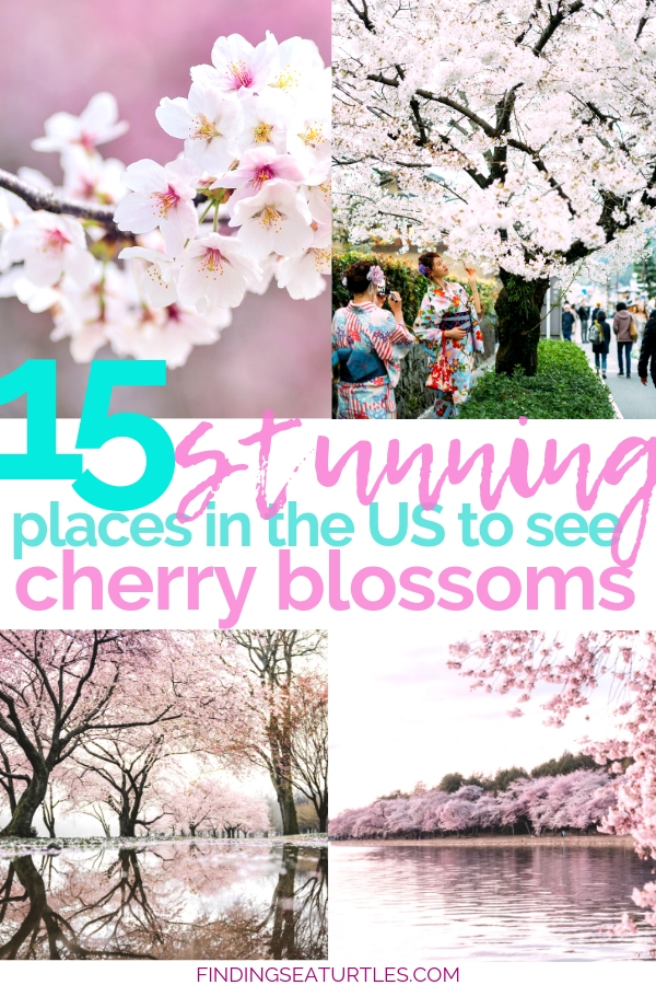 15 Best Places To See Cherry Blossoms #cherryblossoms #cherryblossomfestival #japanesecherrytree #japanesecherryblossom