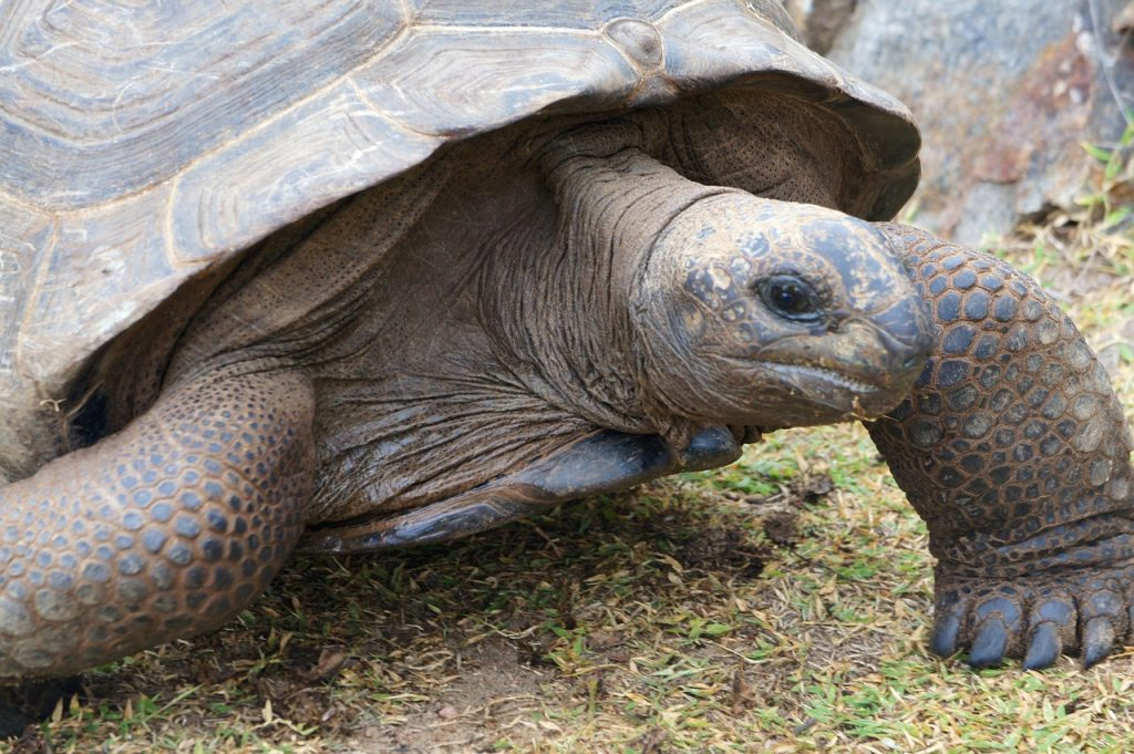 A Galapagos Turtle