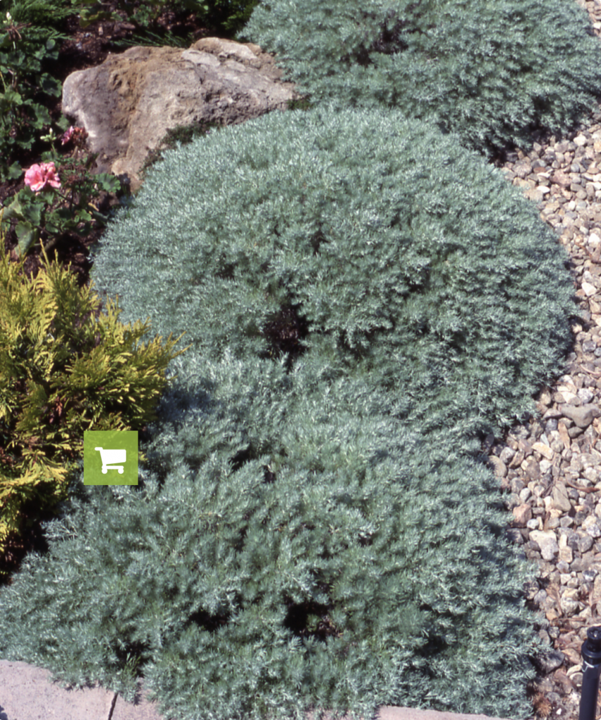 8 Gorgeous Plants to Add Shimmer to Your Winter Garden - Silver Mound, Artemisia Schmidtiana #WinterGarden #SilverMound #ArtemisiaSilverMound #Gardening #WinterGardenInterest