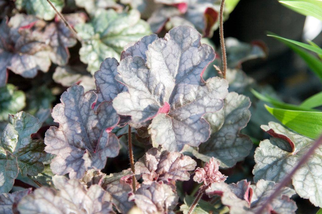 8 Gorgeous Plants to Add Shimmer to Your Winter Garden - Coral Bells Heuchera Silver Scrolls #WinterGarden #HeucheraSilverScrolls #Perennials #Gardening