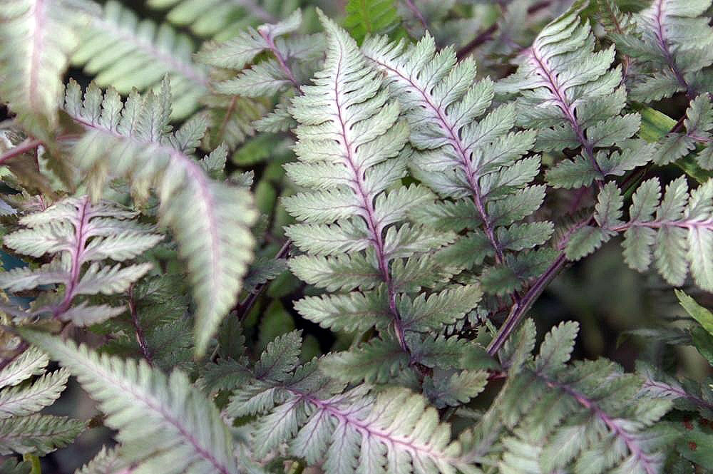 8 Gorgeous Plants to Add Shimmer to Your Winter Garden - Japanese Painted Fern, Athyrium Niponicum Pictum #WinterGarden #JapanesePaintedFern #WinterGardeningInterest #Gardening #ShadeLovingPlants