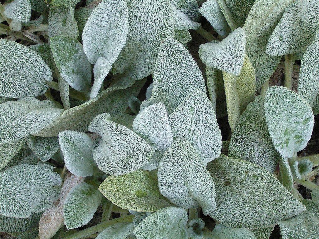 8 Gorgeous Plants to Add Shimmer to Your Winter Garden - Lamb's Ears Stachys Byzantina #WinterGarden #WinterInterest #LambsEars #Gardening #Perennials