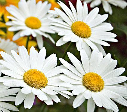 20 Plants to Brighten Your Garden by Moonlight Becky Leucanthemum Superbum #Garden #Gardening #Landscaping #Moonlight #MoonlightGarden #Perennials #MoonlightGardenPerennials