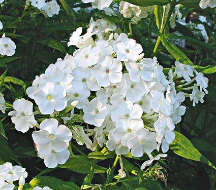 20 Plants to Brighten Your Garden by Moonlight David Phlox Paniculata #Garden #Gardening #Landscaping #Moonlight #MoonlightGarden #Perennials #MoonlightGardenPerennials