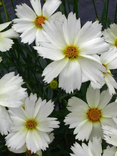 20 Plants to Brighten Your Garden by Moonlight Polaris Coreopsis #Garden #Gardening #Landscaping #Moonlight #MoonlightGarden #Perennials #MoonlightGardenPerennials