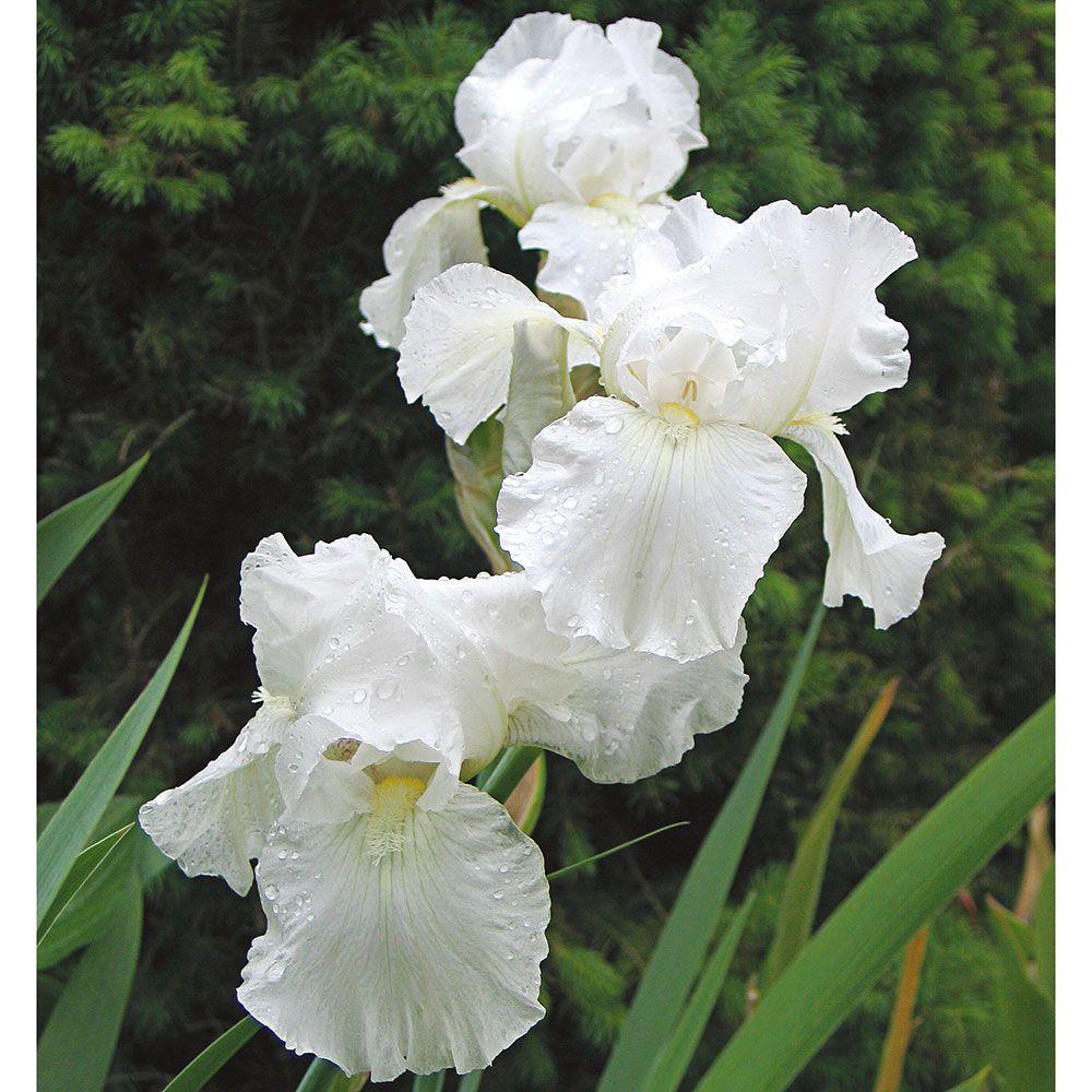 20 Plants to Brighten Your Garden by Moonlight Reblooming Iris Immortality #Garden #Gardening #Landscaping #Moonlight #MoonlightGarden #Perennials #MoonlightGardenPerennials