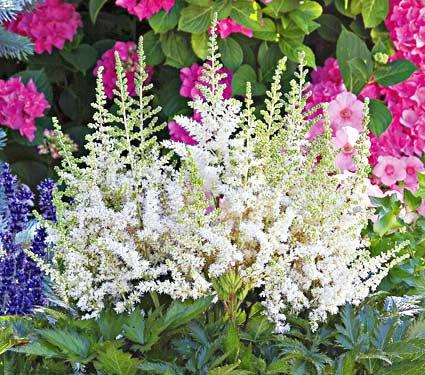 20 Plants to Brighten Your Garden by Moonlight Vision In White Astilbe #Garden #Gardening #Landscaping #Moonlight #MoonlightGarden #Perennials #MoonlightGardenPerennials
