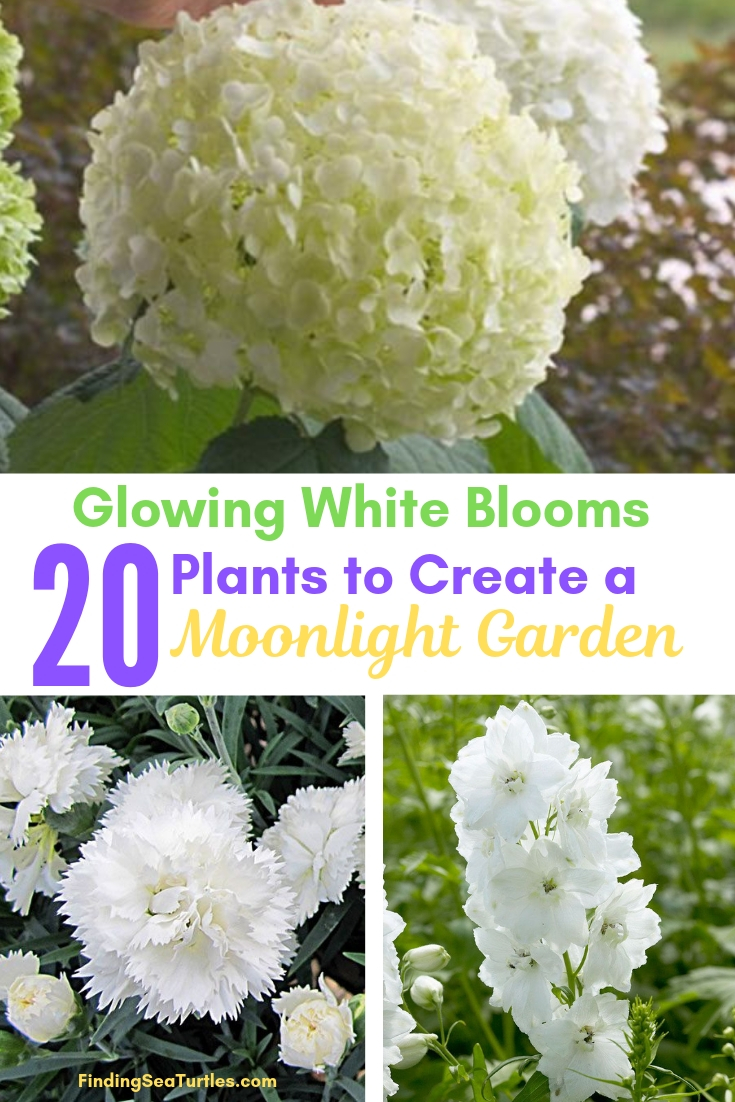 Glowing White Blooms 20 Plants To Create A Moonlight Garden #Garden #Gardening #Landscaping #Moonlight #MoonlightGarden #Perennials #MoonlightGardenPerennials