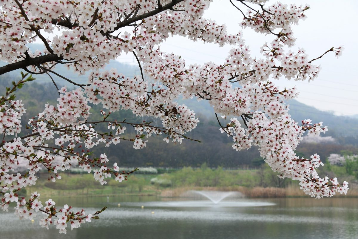 15 BEST Cherry Blossom Viewing Places Around the USA