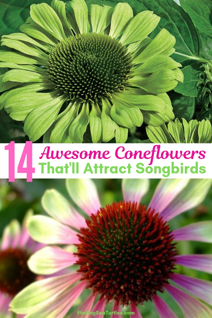 14 Awesome Coneflowers That'll Attract Songbirds #Coneflowers #Echinacea #Garden #Gardening #Landscape #SummerFlowers #LongBloomingFlowers #DroughtTolerant #HeatTolerant #NativePlants