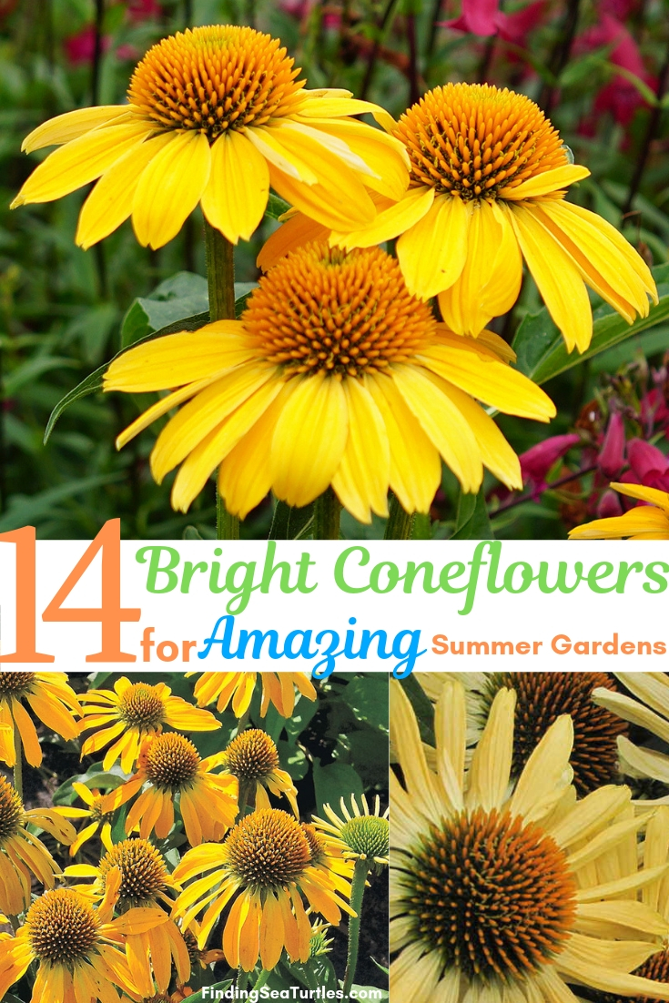 14 Bright Coneflowers For Amazing Summer Gardens
