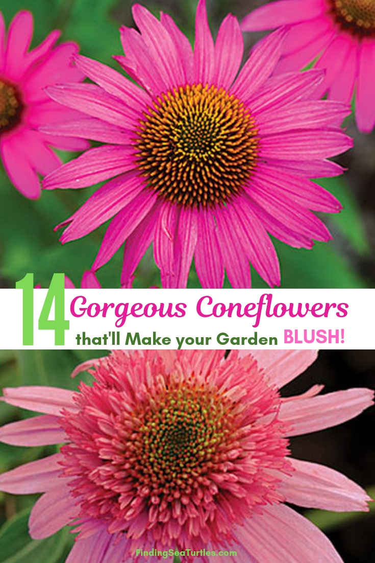 14 Gorgeous Coneflowers That'll Make Your Garden Blush! #Coneflowers #Echinacea #Garden #Gardening #Landscape #SummerFlowers #LongBloomingFlowers #DroughtTolerant #HeatTolerant #NativePlants
