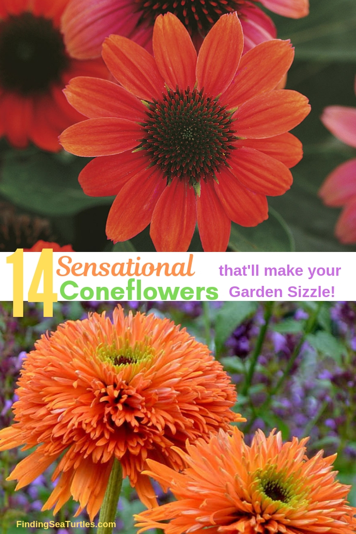 14 Colorful Coneflowers to Brighten Your Summer Garden 14 Sensational Coneflowers That'll Make Your Garden Sizzle! #Coneflowers #Echinacea #Garden #Gardening #Landscape #SummerFlowers #LongBloomingFlowers #DroughtTolerant #HeatTolerant #NativePlants