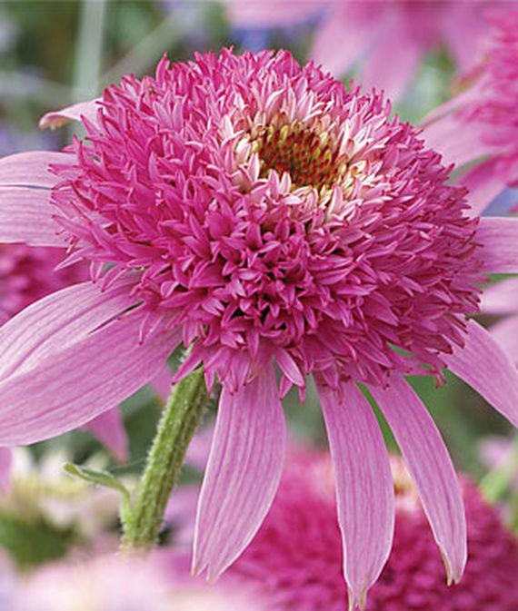 Colorful Coneflowers to Brighten Your Summer Garden Echinacea Pink Double Delight #Coneflowers #Echinacea #Garden #Gardening #Landscape #SummerFlowers #LongBloomingFlowers #DroughtTolerant #HeatTolerant #NativePlants