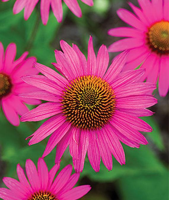 14 Colorful Coneflowers to Brighten Your Summer Garden Echinacea Pink Shimmer #Coneflowers #Echinacea #Garden #Gardening #Landscape #SummerFlowers #LongBloomingFlowers #DroughtTolerant #HeatTolerant #NativePlants #SummerBlooming