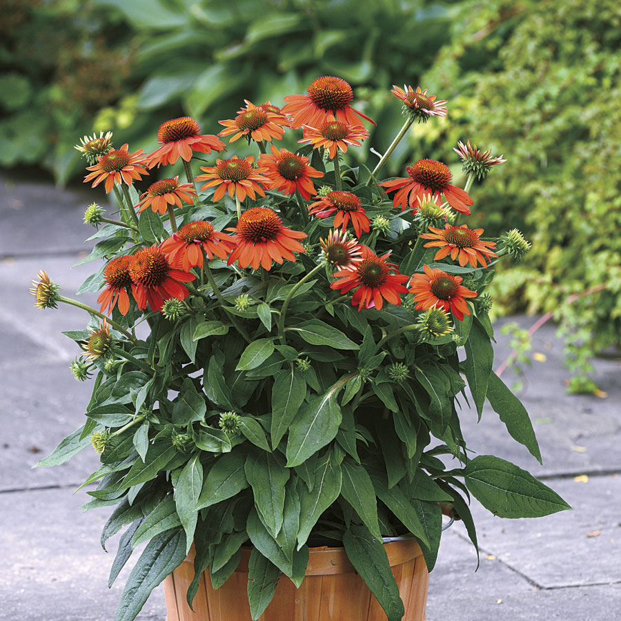Colorful Coneflowers to Brighten Your Summer Garden Echinacea Sombrero Adobe Orange Coneflower #Coneflowers #Echinacea #Garden #Gardening #Landscape #SummerFlowers #LongBloomingFlowers #DroughtTolerant #HeatTolerant #NativePlants