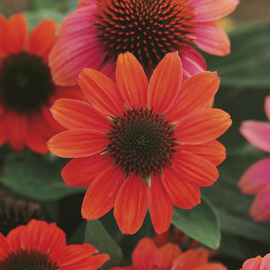 Colorful Coneflowers to Brighten Your Summer Garden Echinacea Sombrero Hot Coral #Coneflowers #Echinacea #Garden #Gardening #Landscape #SummerFlowers #LongBloomingFlowers #DroughtTolerant #HeatTolerant #NativePlants
