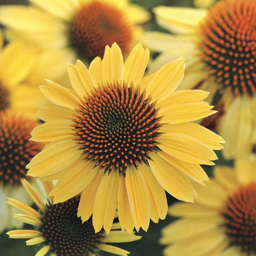 14 Colorful Coneflowers to Brighten Your Summer Garden