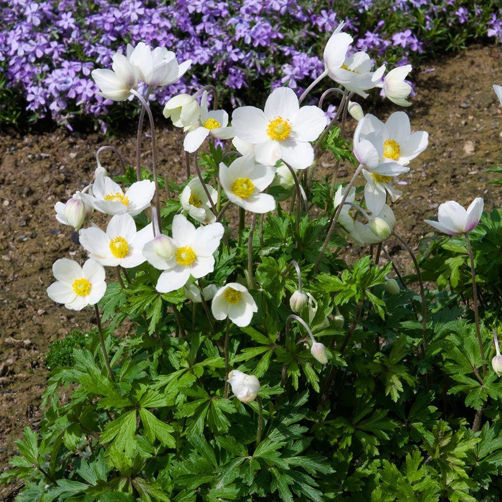 Deer Resistant Perennials: Stop Planting All-You-Can-Eat Garden Buffets - Anemone Sylvestris #OrganicGardening #Gardening #DeerResistantPllants #WhiteFlowerFarm #AnemoneSylvestris