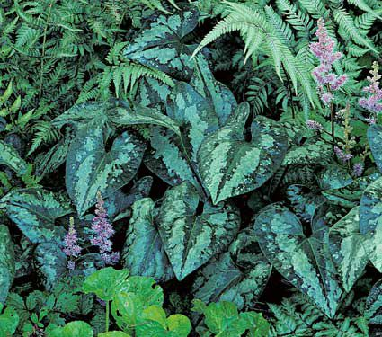 Deer Resistant Perennials: Stop Planting All-You-Can-Eat Garden Buffets - Asarum Splendens #WhiteFlowerFarm #DeerResistantPlants #OrganicGardening #Gardening #ShadePlants