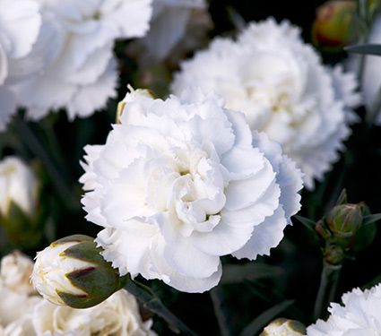 Deer Resistant Perennials: Stop Planting All-You-Can-Eat Garden Buffets - Dianthus Early Bird Frosty #DianthusEarlyBirdFrosty #WhiteFlowerFarms #OrganicGardening #Gardening #DeerResistant