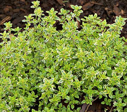 Deer Resistant Perennials: Stop Planting All-You-Can-Eat Garden Buffets - Lemon Thyme #OrganicGardening #Gardening #LemonThyme #DeerResistantPlants #WhiteFlowerFarm