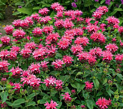 Deer Resistant Perennials: Stop Planting All-You-Can-Eat Garden Buffets - Monarda Didyma Pink Lace #WhiteFlowerFarm #MonardaDidymaPinkLace #OrganicGardening #Gardening #DeerResistantGardening