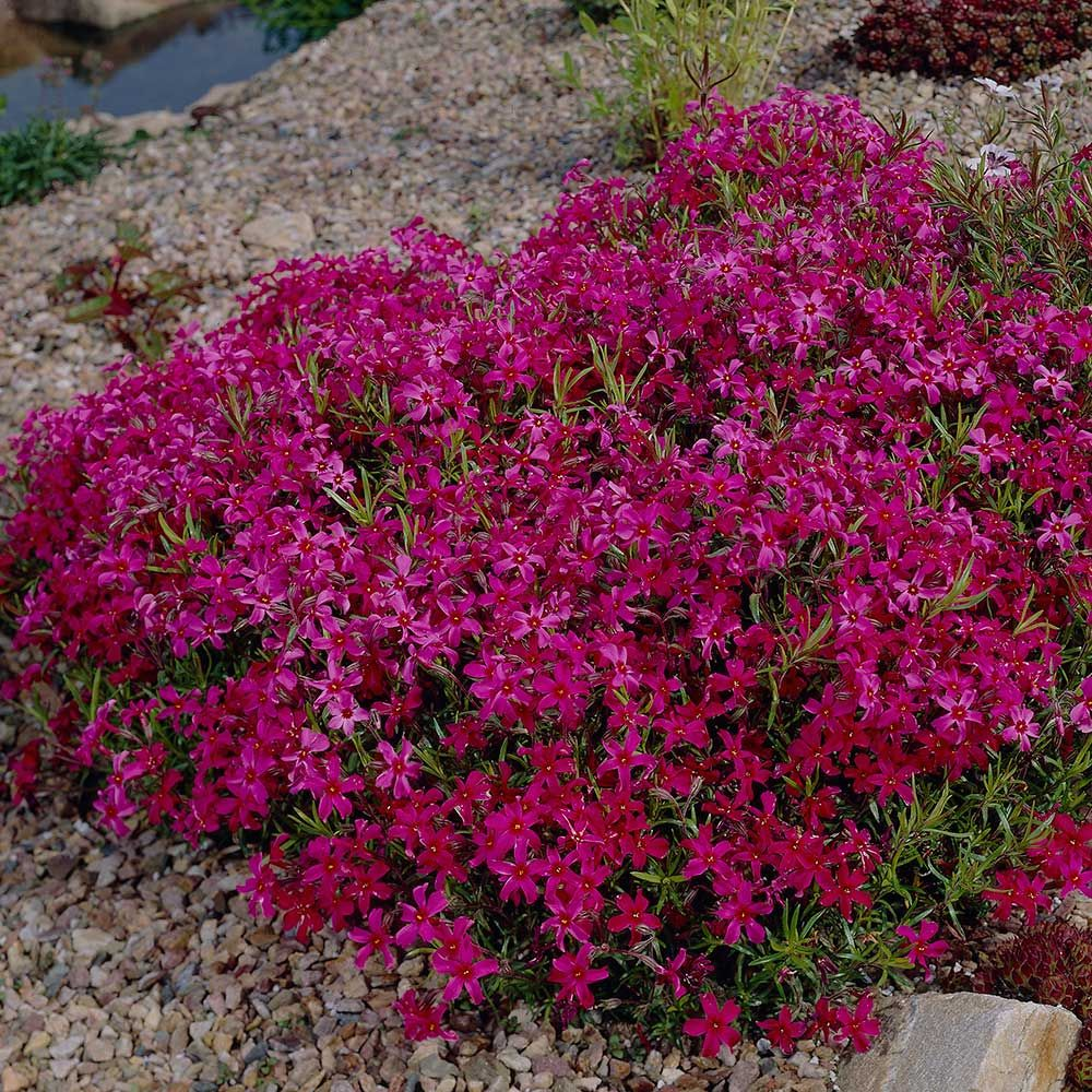 Deer Resistant Perennials: Stop Planting All-You-Can-Eat Garden Buffets - Phlox Subulata Scarlet Flame #WhiteFlowerFarm #DeerResistantPlants #OrganicGardening #Gardening #ScarletFlame