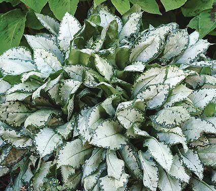 Deer Resistant Perennials: Stop Planting All-You-Can-Eat Garden Buffets - Pulmonaria Moonshine #PulmonariaMoonshine #WhiteFlowerFarm #DeerResistantPlants #OrganicGardening #Gardening