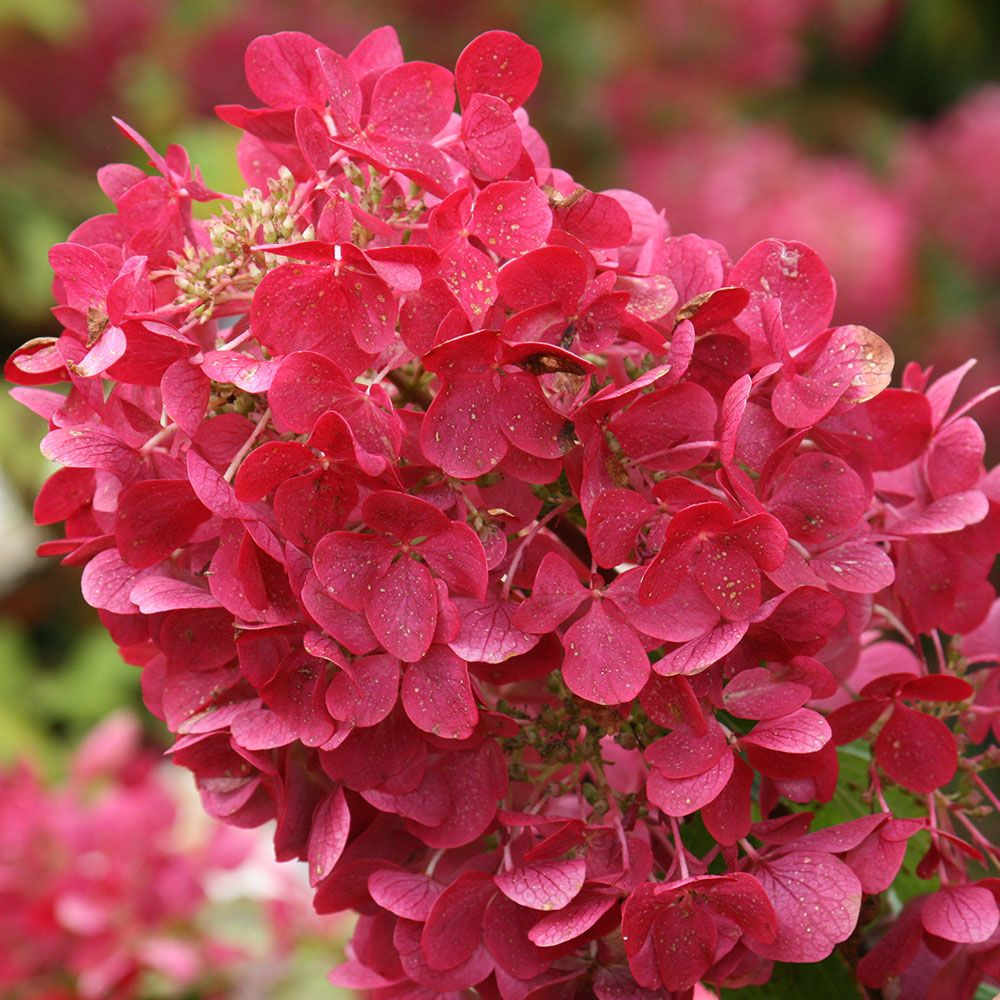 25 Pretty in Pink Gifts for Mom Hydrangea Paniculata Diamond Rouge #MothersDay #GiftsForMom #PinkGiftForMom #MothersDayGifts #PrettyPinkGifts