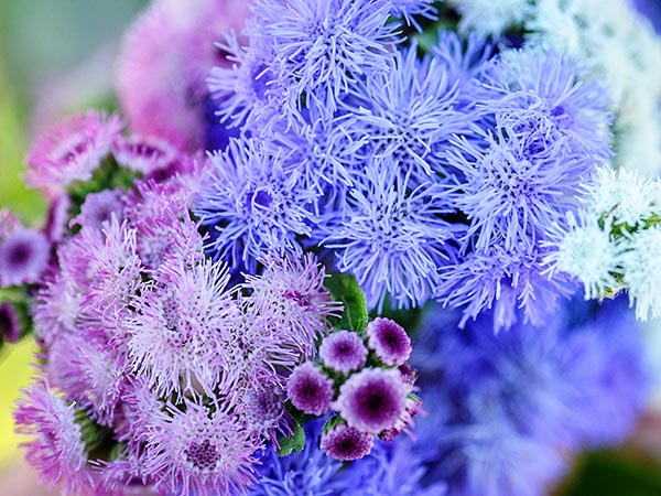 21 Gorgeous Garden Plants to Grow From Seeds Ageratum #Gardening #FlowerBeds #GardenSeeds #DIY #DIYGarden