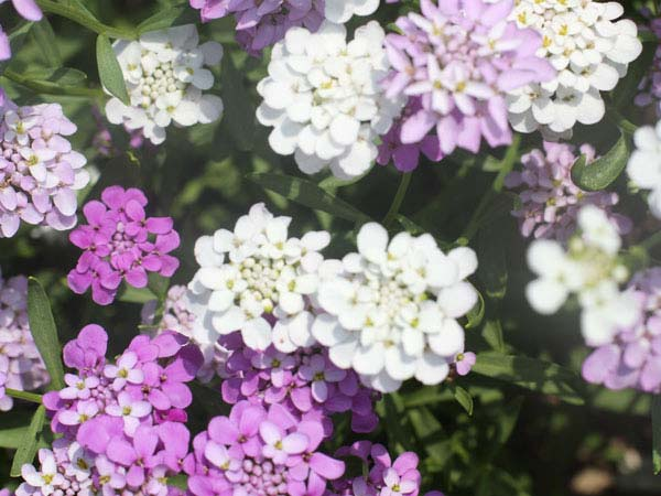 21 Gorgeous Garden Plants to Grow From Seeds Candytuft Tall #Gardening #DIY #DIYGardening #Landscape #SeedGardening