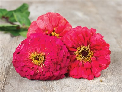 21 Gorgeous Garden Plants to Grow From Seeds Cherry Queen Zinna #Gardening #DIY #DIYGardening #Landscape #FrugalGardening