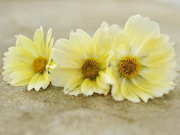 21 Gorgeous Garden Plants to Grow From Seeds Cosmos Xanthos #Gardening #DIY #DIYGardening #Frugal #Landscaping