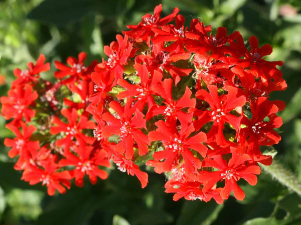 21 Gorgeous Garden Plants to Grow From Seeds Lychnis Maltese Cross #Gardening #DIY #DIYGardening #Landscaping #Frugal