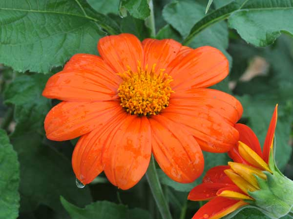 21 Gorgeous Garden Plants to Grow From Seeds Mexican Sunflower Gold Finger #Gardening #DIY #DIYGarden #Landscape #FrugalGarden