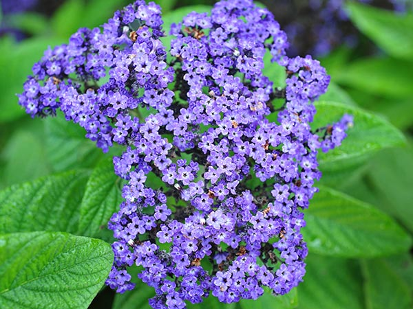 21 Gorgeous Garden Plants to Grow From Seeds Ogrodowy Heliotrope #Gardening #DIY #DIYGardening #Landscaping #Frugal