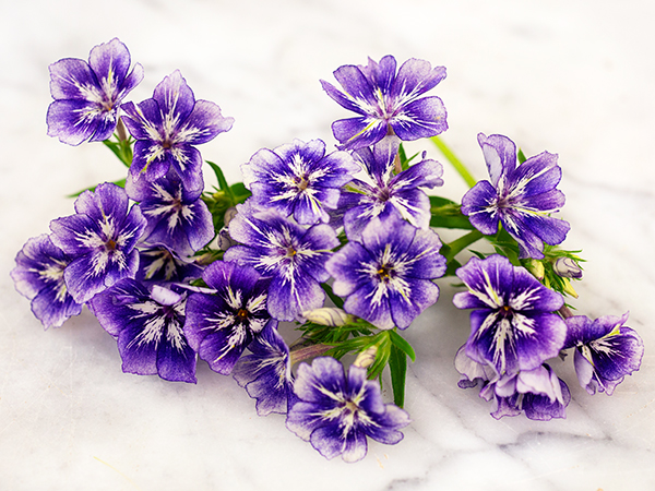 21 Gorgeous Garden Plants to Grow From Seeds Phlox Sugar Stars #Gardening #DIY #DIYGardening #Landscape #Frugal