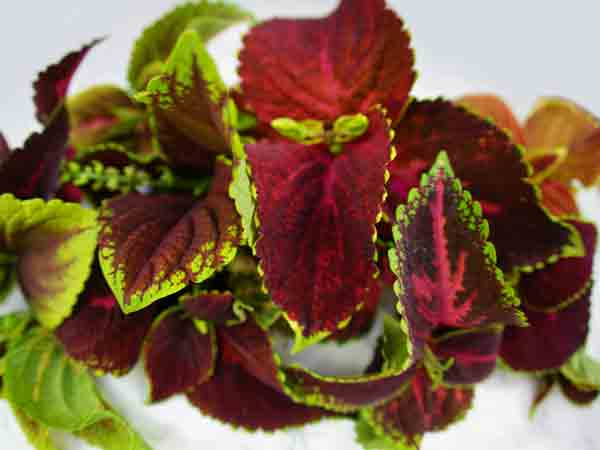 21 Gorgeous Garden Plants to Grow From Seeds Rainbow Floral Strain Mix Coleus #Gardening #DIY #DIYGardening #Landscape #Frugal