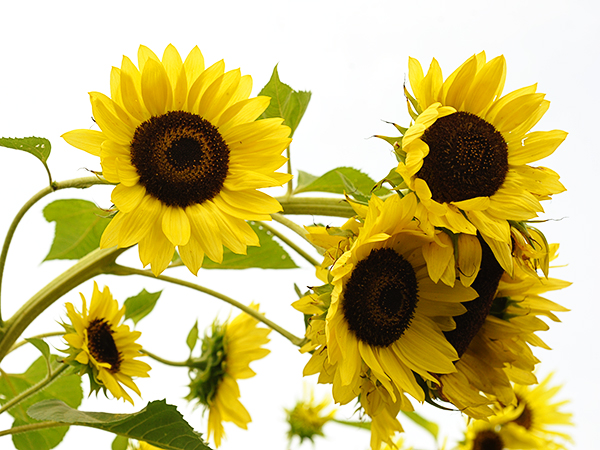 21 Gorgeous Garden Plants to Grow From Seeds Sunflower Giant Primrose #Gardening #DIY #DIYGardening #Landscape #FrugalGarden