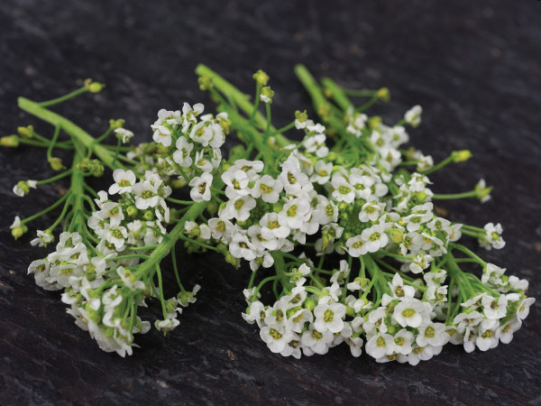 21 Gorgeous Garden Plants to Grow From Seeds Tall Sweet Alyssum White #Gardening #DIY #DIYGardening #Landscape #FrugalGarden