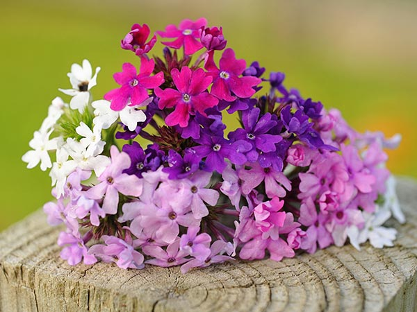 21 Gorgeous Garden Plants to Grow From Seeds Verbena Tenuisecta Mix #Gardening #DIY #DIYGardening #Landscape #FrugalGardening