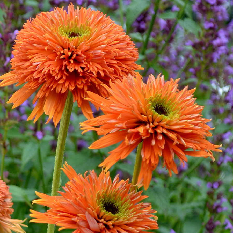 14 Colorful Coneflowers to Brighten Your Summer Garden Colorburst Orange Echinacea #Coneflowers #Echinacea #Garden #Gardening #Landscape #SummerFlowers #LongBloomingFlowers #DroughtTolerant #HeatTolerant #NativePlants