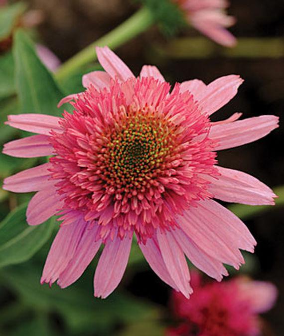 14 Colorful Coneflowers to Brighten Your Summer Garden Double Scoop Bubble Gum Echinacea #Coneflowers #Echinacea #Garden #Gardening #Landscape #SummerFlowers #LongBloomingFlowers #DroughtTolerant #HeatTolerant #NativePlants