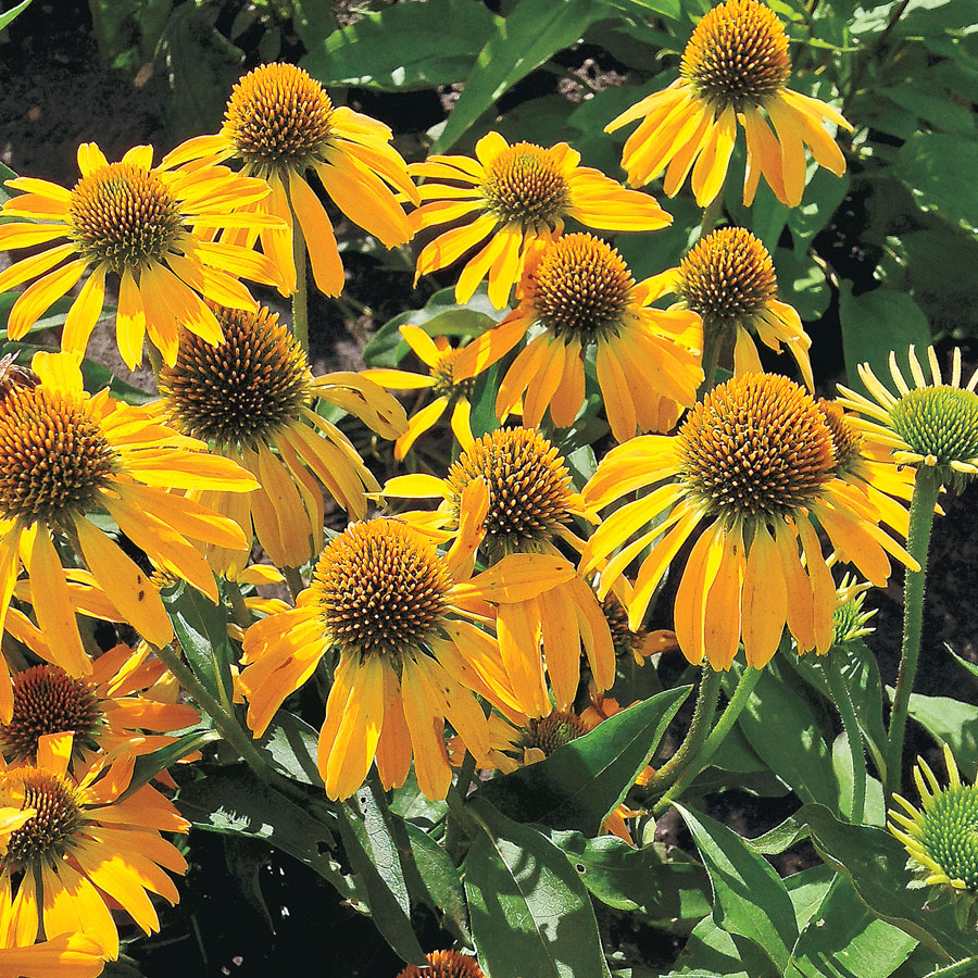 14 Colorful Coneflowers to Brighten Your Summer Garden Golden Skipper Butterfly Echinacea #Coneflowers #Echinacea #Garden #Gardening #Landscape #SummerFlowers #LongBloomingFlowers #DroughtTolerant #HeatTolerant #NativePlants
